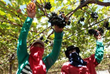 Bahia produz mais de 30% das frutas do país e região de Juazeiro lidera exportação de uva e manga