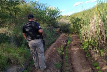 Polícia destrói plantação com mais de mil pés de maconha