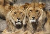 Leões matam três crianças perto da reserva natural na Tanzânia | Foto:
