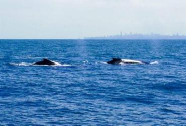Salvador fará primeiro cruzeiro de observação de baleias em agosto |