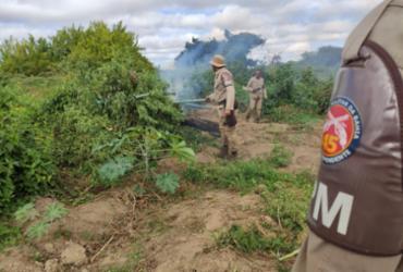 Mais de 12 mil pés de maconha são destruídos em Curaçá