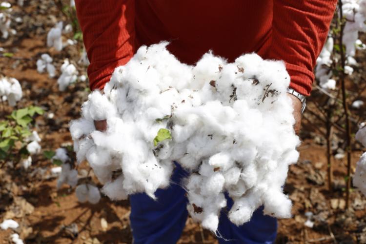 Cadeia produtiva do algodão pode ter um novo olhar - Foto: Divulgação