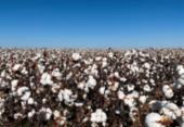 Embrapa Arroz e Feijão busca parcerias e algodão é sucesso na Bahia | Foto: Divulgação