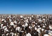 Embrapa busca parcerias e algodão é sucesso | Divulgação