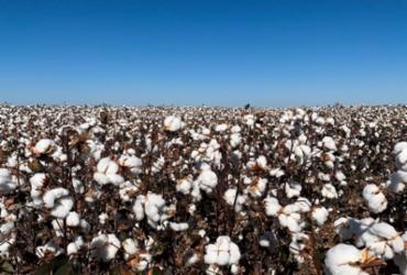 Embrapa Arroz e Feijão busca parcerias e algodão é sucesso na Bahia | Divulgação