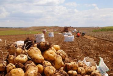 Produção baiana de batata abastece todo o Nordeste | Divulgação