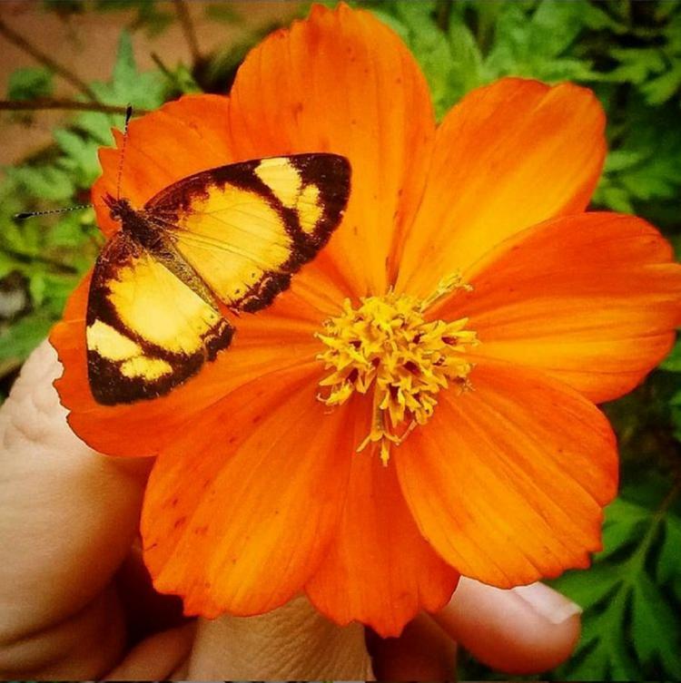 A cosmo é uma Panc comestível, medicinal e atrai borboletas