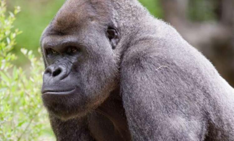 Os primatas foram examinados depois que seus cuidadores os viram tossir e notaram outros sintomas   Foto: Reprodução   Zoo Atlanta - Foto: Reprodução   Zoo Atlanta