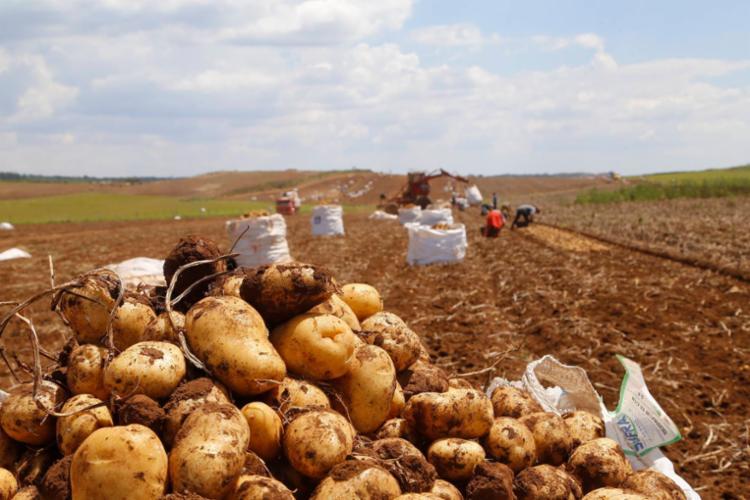 Produção de batata na Bahia este ano aumentou 93,5% em relação à 2020 | Foto: Divulgação - Foto: Divulgação